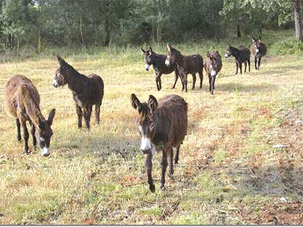 """Os aminais inservíveis (muares e equinos) passaram a viver livres e soltos em área do Trabiju. A Lei  Municipal 884, """"Lei dos Burros"""" , completa 50 anos no próximo dia 30 de maio"""