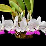 Originária do Brasil, a cattleya walkeriana é considerada a orquídea mais perfeita que existe graças ao equilíbrio e simetria de suas formas