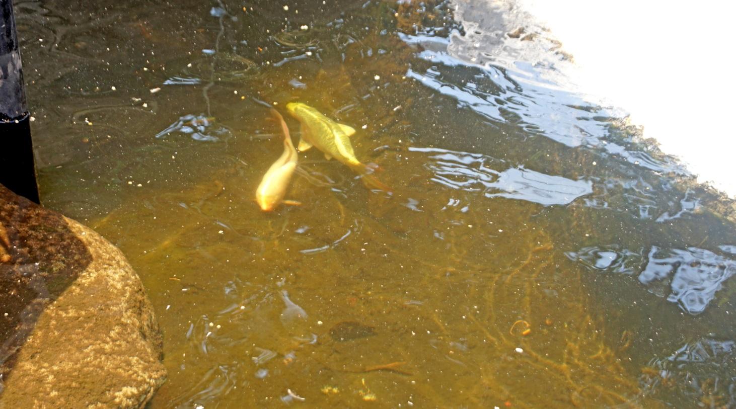 """Mais de 500 carpas foram soltas no lago da """"Cascata"""""""